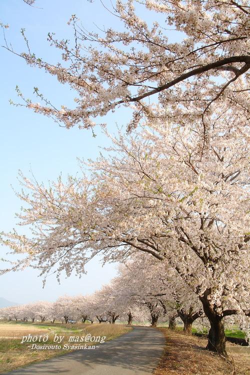 桜 阿賀野市