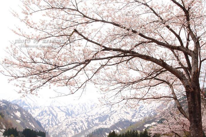 山形県小国町 マタギの里 小玉川の桜