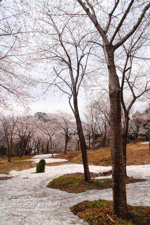 小国町 桜