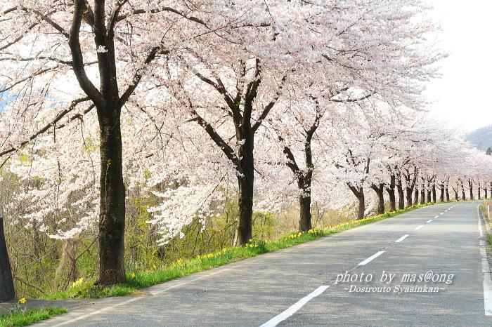胎内市 桜ロード